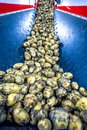 Potatoes sort process at the factory Royalty Free Stock Photo