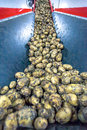 Potatoes sort process at the factory Royalty Free Stock Photo