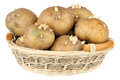Potatoes with sprouts in a basket over white background Royalty Free Stock Images