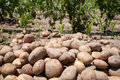 Potatos raw in a vegitable garden stock photo selective focus on the front Royalty Free Stock Photography
