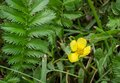 Potentilla anserina silverweed leaf and yellow flower Stock Images