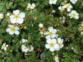 Potentilla fruticosa beautiful blooms