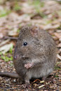 Potoroo Eating a Pellet Stock Photography