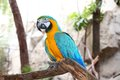 The potrait of Blue & Gold Macaw Stock Photography