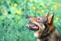 Potrait of the dog Royalty Free Stock Photo