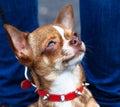 Potrait of dog . Royalty Free Stock Photo