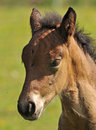 Potrait of a foal Stock Image