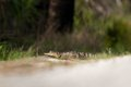 Potrait of gator american alligator alligator mississippiensis looking at camera selective focus on head Royalty Free Stock Photos