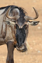Potrait of wildebeest in national park serengeti tanzania africa Stock Image