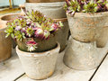 Pots with sedum plants Royalty Free Stock Image