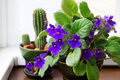 Potted African Violet and cactus Royalty Free Stock Photo