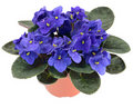 Potted African Violet (Saintpaulia ionantha) Stock Photo