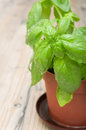 Potted Basil Stock Photos