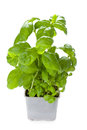 Potted basil plant Stock Image