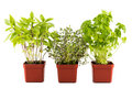 Potted Basil, Thyme and Parsley plant with isolated background, flushed left Royalty Free Stock Photo