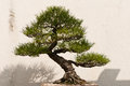 Potted bonsai tree a japanese Royalty Free Stock Images