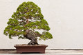Potted bonsai tree a japanese Stock Images