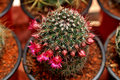 Potted cacti flower Royalty Free Stock Photo