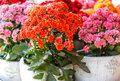 Potted colorful succulent Kalanchoe blossfeldiana flowers
