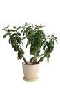 Potted Crassula Or Dollar Tree