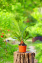 Potted cycas palm plant in colorful garden on background Royalty Free Stock Photos