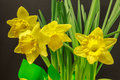 Potted daffodils on a Black Background Royalty Free Stock Photo