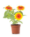 Potted flower Royalty Free Stock Photo