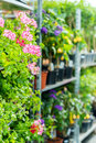 Potted flowers on shelves in garden shop Royalty Free Stock Image