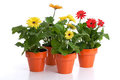 Potted gerbera daisy collection Stock Image