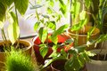 Potted green plants on window sill indoors Royalty Free Stock Photo