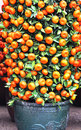 Potted kumquat trees Royalty Free Stock Images