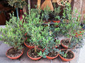 Potted little olive trees street vending of small Stock Photo