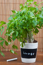 Potted lovage herb with label Royalty Free Stock Photo