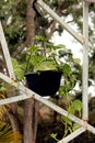 Potted Money Plant hanging on garden frame Royalty Free Stock Photo