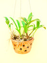 Potted orchids Royalty Free Stock Photo