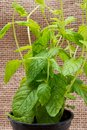 Potted Organic Peppermint Plant with roots in fertilized soil isolated on natural burlap. Species: Mentha x Piperita.