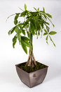 Potted Pachira aquatica Royalty Free Stock Photo