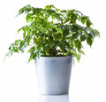 Potted plant isolated Royalty Free Stock Photo