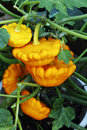 Potted plant pumpkins Royalty Free Stock Photo