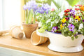 Potted spring flowers on old vintage kitchen table vintage gardening scene with pansy flowers in old enamel bowl copy space Royalty Free Stock Images