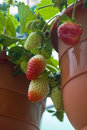 Potted Strawberry Royalty Free Stock Images