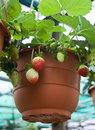 Potted Strawberry Stock Photo