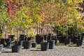 Potted Trees at the Nursery Royalty Free Stock Photo
