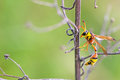 Potter wasp is staying on the plant shoot Stock Photography