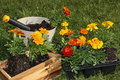 Potting flowers beautiful orange spring Stock Images