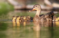 Poule et canetons de colvert Photo stock
