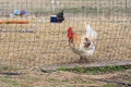Poulet en nature Photos stock