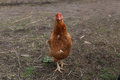 Poulet en nature Photo libre de droits