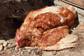 Poultry disease the newcastle is a major killer of in developing countries Stock Image