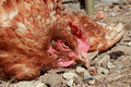 Poultry disease the newcastle is a major killer of in developing countries Stock Images